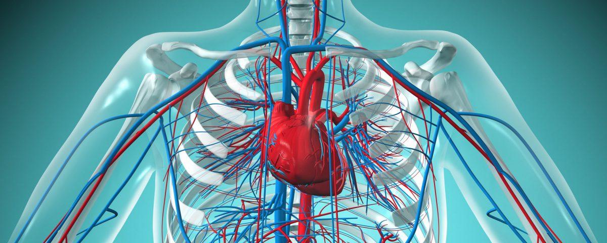 сердечно-сосудистая система, серцево-судинна система